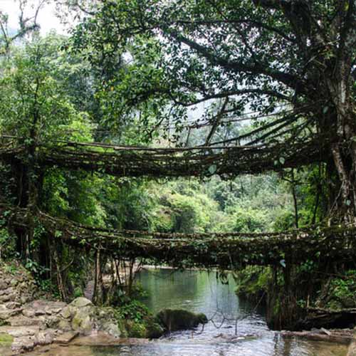 Living Root Bridge Feature Image