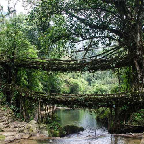 Living Root Bridge Feature Image
